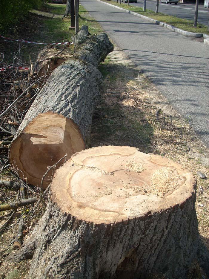Teramo, alberi tagliati solo dopo la denuncia dei commercianti