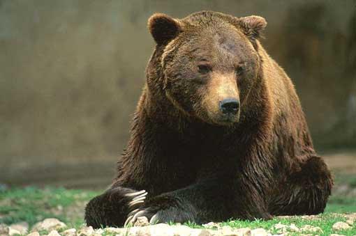 Anversa degli Abruzzi: avvistato orso sulla Ss479