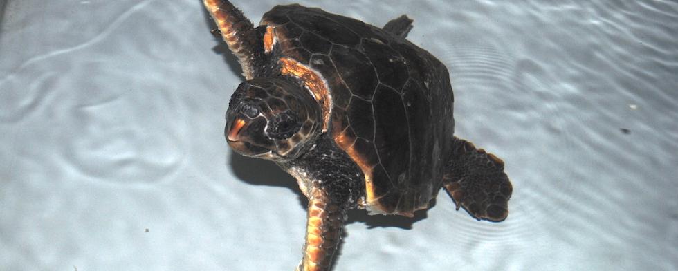 Adotta una tartaruga for Vasche per tartarughe marine