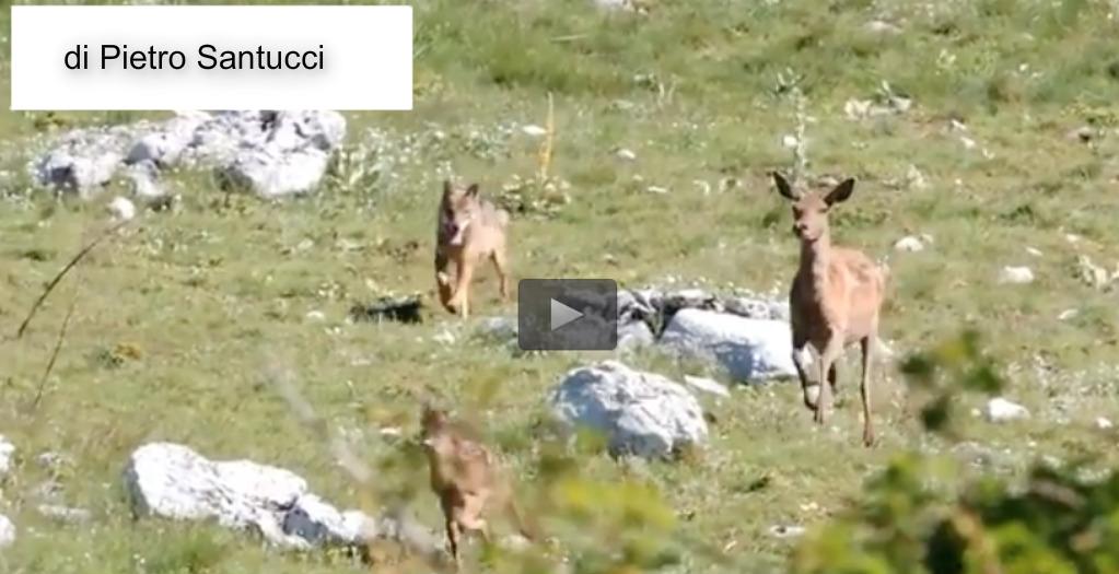 Cerva sfida lupo per difendere cucciolo – Video