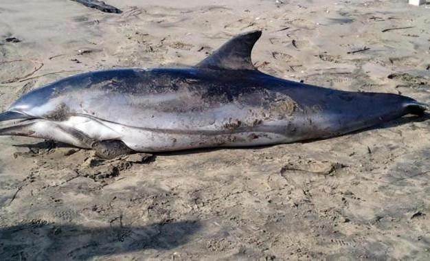 Vasto: delfino morto sulla spiaggia