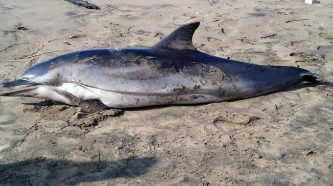 Vasto-delfino-morto-sulla-spiaggia