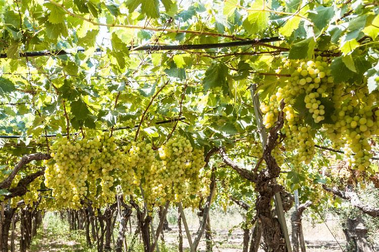 Vitivinicoltura Abruzzo: 1 milione di contributi dalla Regione