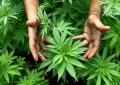 Elice: in giardino piante di marijuana, arrestato