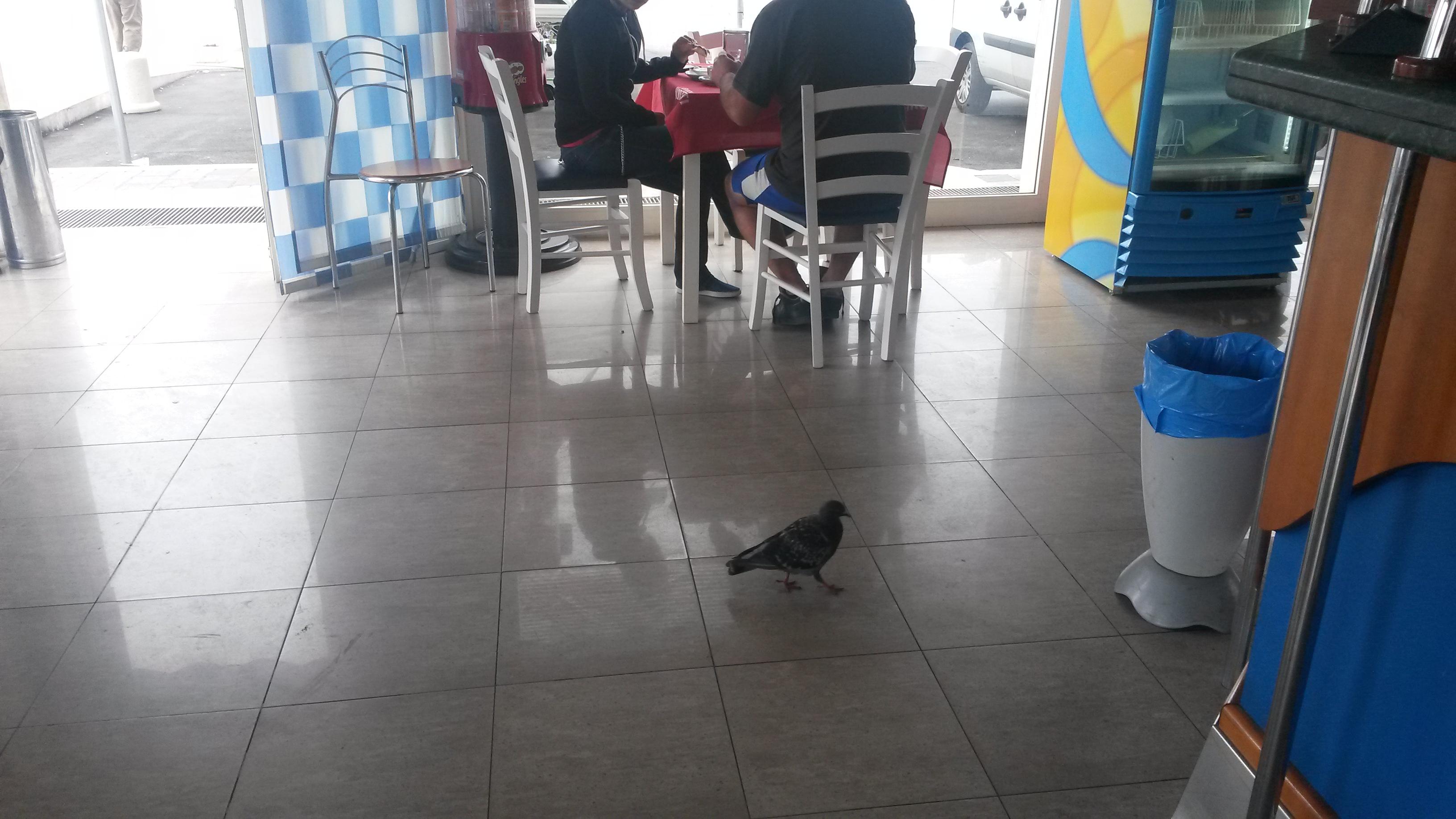 """Pescara: piccione """"cliente"""" fisso del bar"""