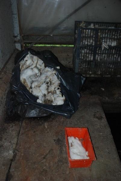 Congiunti, trovate migliaia di carcasse di conigli