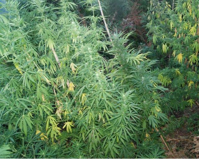 150 piante di canapa ad Orsogna, 5  denunce