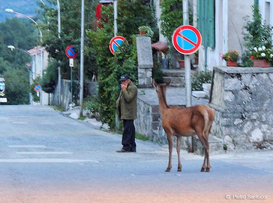cervo-strada