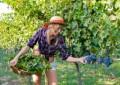 Vendemmia in Abruzzo: anticipata raccolta uve bianche