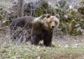 """E' morto """"Sandrino"""" l'orso ambasciatore del Parco d'Abruzzo"""