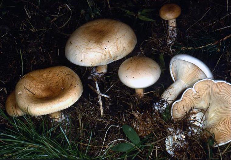 clitocybeamoenolens