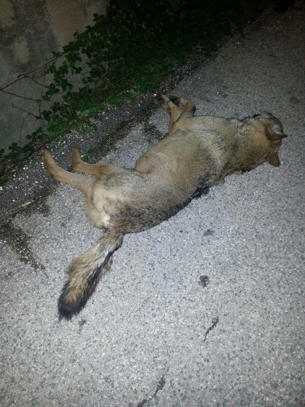 Scanno: lupo investito sulla ex statale