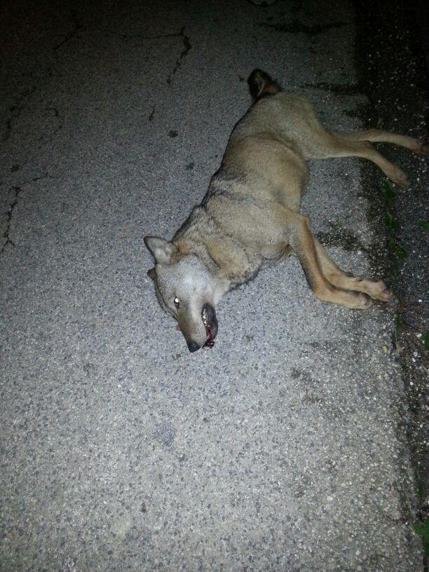Lupo trovato morto sul ciglio della strada