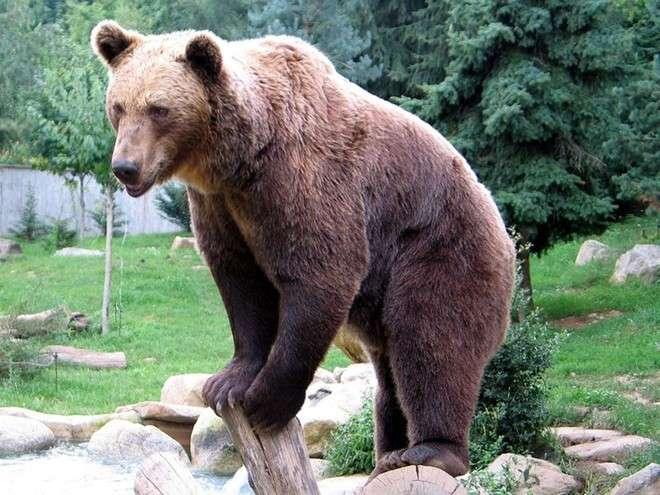 Sulmona: l'orso a cena con i polli, la paura dei residenti