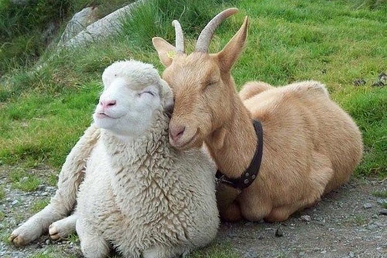 L'Aquila: sequestrato un tir di pecore e capre