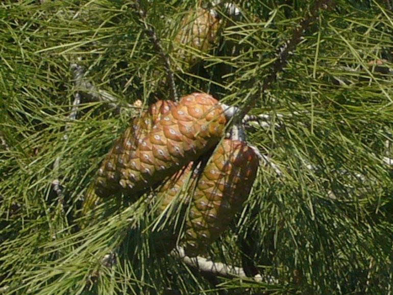 Roseto: pino crolla sul lungomare