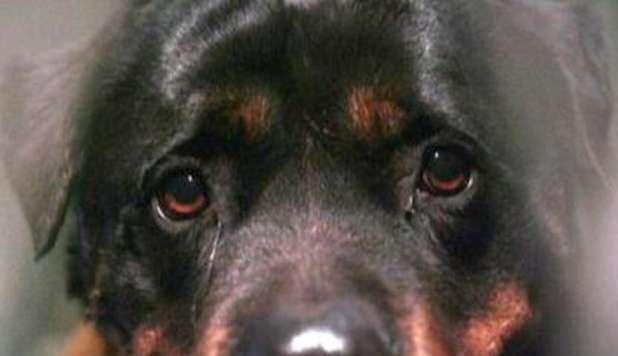 Campli, cani maltrattati e denutriti, denunciato