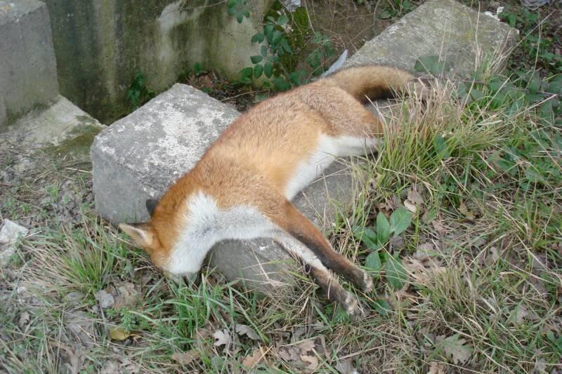 Parco d'Abruzzo: volpi e cornacchie forse avvelenate
