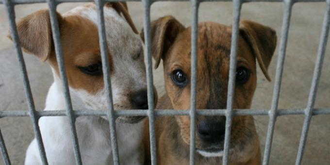 Cuccioli da Ungheria, denunciati due residenti in Abruzzo