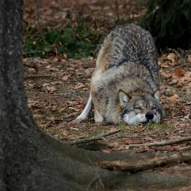Castiglione C.: Forestale salva lupo da trappola bracconieri