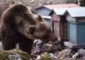 """Gamberale, orso goloso distrugge arnie: """"No a seggiovia"""""""