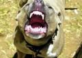 L'Aquila, pitbull aggredisce figlio assessore