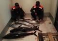Pescara: sequestrati 250 kg di tonno rosso