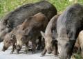 Provincia di Chieti, cinghiali: 43 sindaci pronti a…sparare