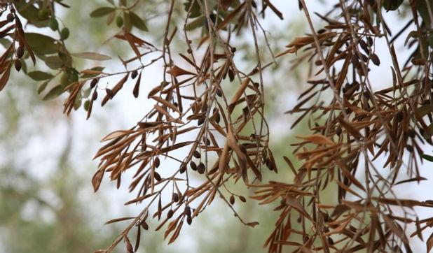 ulivi-copagri-xilella