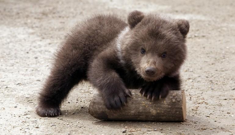 Nell'ultimo anno nati sei cuccioli di orso marsicano nel PNALM
