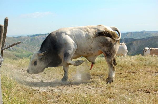 Civitella Roveto: Muore incornato da un vitello