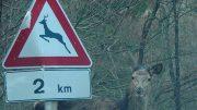 cervo-segnale1