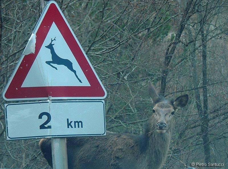 """Attenzione! Cervo """"vigile"""" in strada vicino al segnale"""