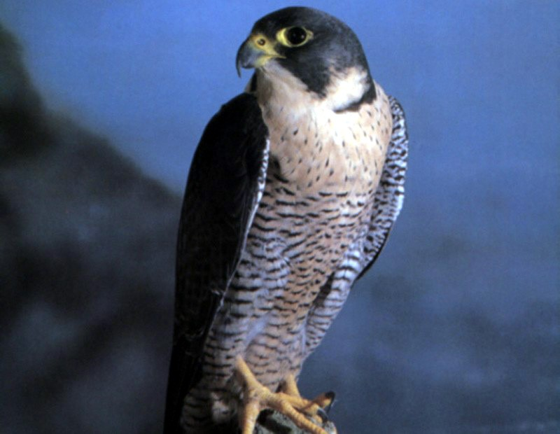 Falco pellegrino salvato a Pianella