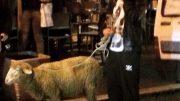 mario-ferri-pecora1