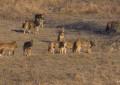 Parco Abruzzo, cucciolata di lupo trovata senza vita