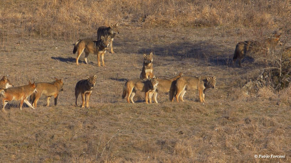 Zoologo filma famiglia di lupi nel Parco d'Abruzzo (Video)