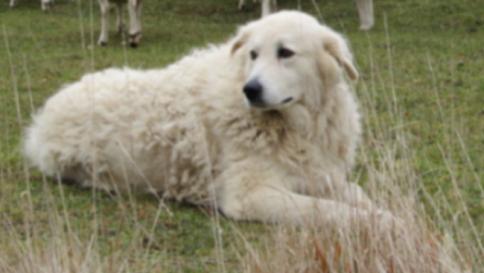 Rocca di Mezzo: il cane eroe Osvaldone salva una donna
