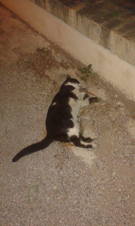 Chieti: avvelenati sei gatti in via Piaggio, caccia al killer