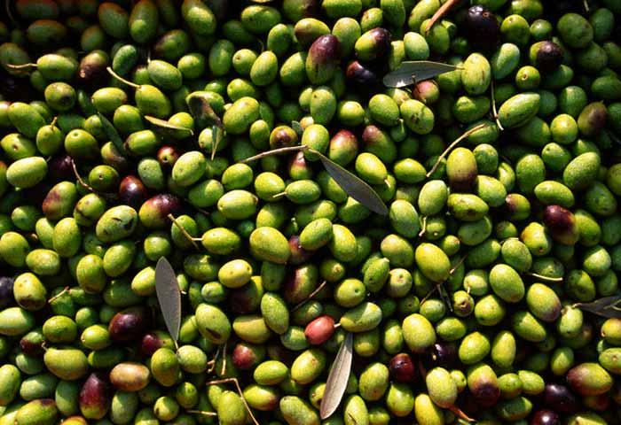 Olive 'verniciate' di rame , sequestri anche in Abruzzo