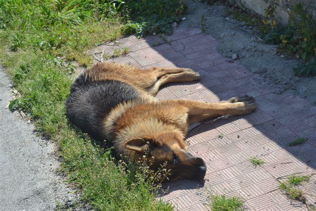 Alanno: avvelenati trenta cani