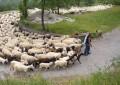 Abruzzo, divieto di transito alle pecore
