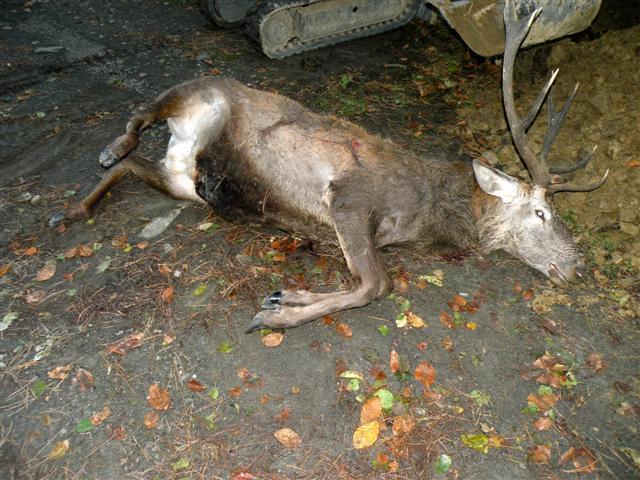 Altopiano 5 Miglia: investono un cervo, salvi per miracolo