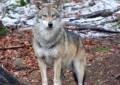 L'Aquila: Claudio, lupo ferito, torna sui monti della Laga