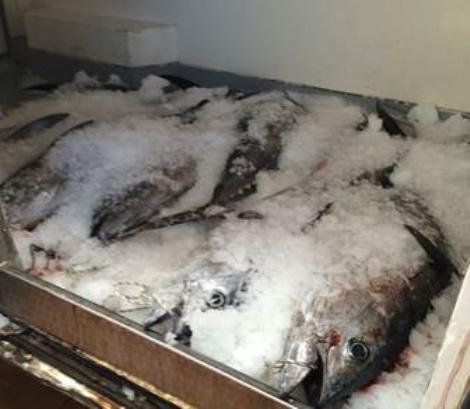 Pescara, tonno rosso: sequestrati 12 esemplari dalla Guardia Costiera