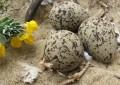 Vasto: rubate dieci uova di fratino dalla riserva