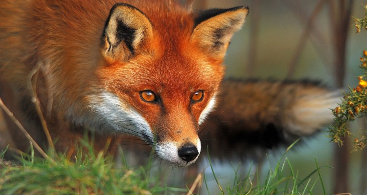 Teramo, la Provincia autorizza la caccia alla volpe