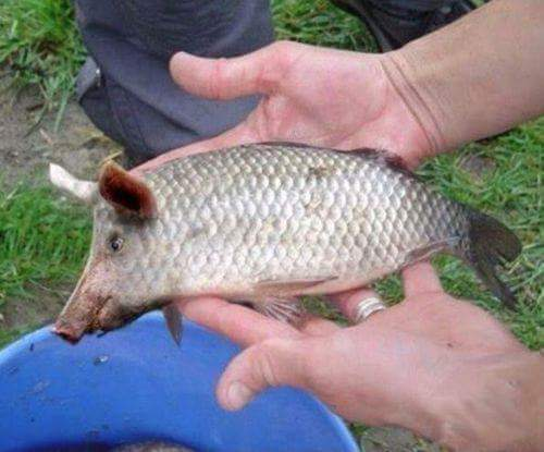 Pescara: pescato rarissimo pesce (d'aprile) suino