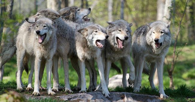 I lupi sbranano una pecora e due agnelli a Collecorvino