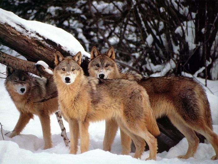 WWF Abruzzo: #SOSLupo, nuove iniziative